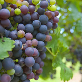 purple-grape-bunch